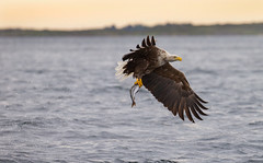 The White Tailed Eagles of Smøla, Norway....(Explored, my 145th) (Pewald) Tags: