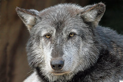 Timber Wolf (Buggers1962) Tags: portrait nature face animal closeup canon mammal zoo wolf close wildlife colchester colchesterzoo whitewolf timberwolf greatphotographers itsazoooutthere canon7d wolfpicture highqualityanimals