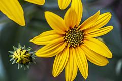 l'ultimo giallo (mat56.) Tags: flowers macro yellow garden petals giallo bud fiori antonio petali giardino bocciolo topinambur helianthustuberosus mat56 romei