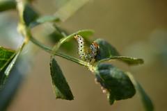 Falsa oruga del rosal (esta_ahi) Tags: barcelona espaa insectos fauna spain rosa larva rosal peneds hymenoptera rosaceae plagas tenthredinidae vilob  argerosae falsaorugadelrosal