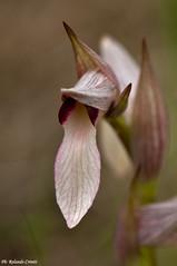 Fiore_030 Orchidea spontanea (Rolando CRINITI) Tags: macro fiore orchidea arenzano orchiedaspontanea