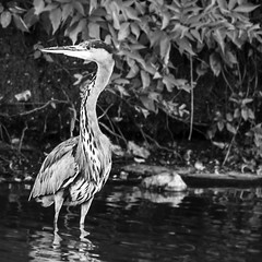 Heron's Way (Duke of Medway) Tags: park white lake black bird heron kent pond country watch duke tony medway capstone