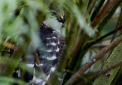 "Sparrowhawk ""you can't see me"" (42jph) Tags: uk england bird nature big nikon hawk wildlife reserve sigma northumberland raptor waters birdofprey sparrowhawk d90 nikond90 150500"