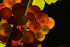 in my garden / grapes (eLKayPics) Tags: autumn apple vegetables fruit garden sony herbst walnut harvest peach plum pear aubergine alpha garten grape apfel birne obst pfirsich walnuss weintrauben pflaume eierfrucht elkaypics nex7 tojasgymlcs
