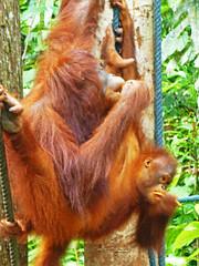 Wild Orangutans, Semenggoh, Borneo (jonhuskisson) Tags: travel wild nature animal monkey asia seasia southeastasia backpacking sarawak malaysia borneo orangutan ape primate sanctuary wildlifesanctuary semenggoh