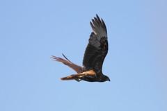 Swamp Harrier (blachswan) Tags: australia victoria raptor ballarat birdinflight lakewendouree circusapproximans swampharrier