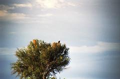 Untitled-14 (FloBue) Tags: 2005 sky tree eagle adler himmel cielo botswana albero baum aquila okawango ucello