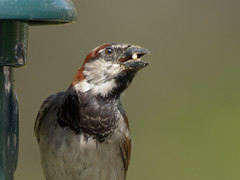 house sparrow (altan o) Tags: house sparrow