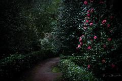 A lot like Alice (BernardoRita) Tags: roses miguel garden island alice jardim terra rosas ilha so azores furnas aores nostra camlias