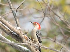 Red-bellied Woodpecker (Jason Crouse) Tags: camera bird home birds animal animals mi unitedstates michigan wildlife sigma olympus subject redbelliedwoodpecker teleconverter menominee 2014 em1 150mm treeclinging sigma150mmf28 zuikoec20