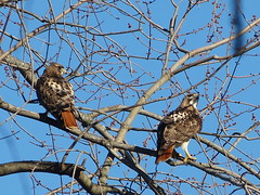 red-tailed hawk, mated pair (quadceratops) Tags: winter red bird nature boston hawk massachusetts arnold arboretum raptor jamaica plain tailed buteo 14hawks8owls