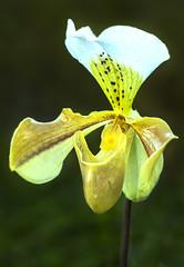 Paphiopedilum (Photator) Tags: kewgardens plant orchid flower botanical flora f14 85mm greenhouse paphiopedalum slipper hothouse samyang