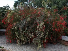 Russelia equisetiforme (Mauricio Mercadante) Tags: red vermelho plantaginaceae flordecoral russeliaequisetiformis coralplant firecrackerplant russelia russélia coralfountain taxonomy:binomial=russeliaequisetiformis