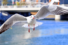 Black-headed Gull of Yokohama Minato Mirai 21 : 21 (Dakiny) Tags: bird birds animal animals japan river march photo spring nikon seagull gull snapshot snap photograph waterfowl tamron kanagawa minatomirai  blackheadedgull sakuragicho   2014    3   benten          kanagawaprefecture a005    bentenbridge  ookariver d5100 nakaward mygearandme mygearandmepremium modela005 2014
