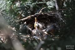 DSC_0610 (Gianluca Borchia) Tags: nest chicks nido pulcini
