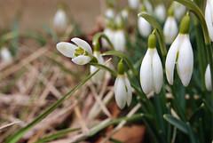 (*amybenson) Tags: spring snowdrops