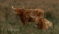 Highland cattle (itukit) Tags: cattle farming kells countyantrim nikond700 ruralulster
