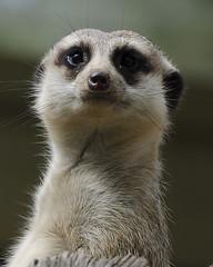 Meerkat Dubbo 2014 (tonyo_au1) Tags: animal meerkat dubbo westernplainszoo 2014
