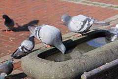 2 (  / Yorozuna) Tags: birds japan pigeon hiroshima  kure             kurestation