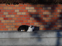 Cat on a Thin Wall (CentipedeCarpet) Tags: old cats japan lens four photos 85mm panasonic chiba micro  fixed  unlimited thirds abiko   gx7 canonfd85mmf18