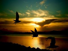 given to fly (Shutterbug 11) Tags: storm birds gold twilight birdsong goldcoast nikoncoolpix tweedriver stormchaser tweedheads chindera tweedsunset