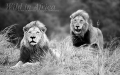 Mufasa and Scar (Wild in Africa.) Tags: africa cats nature animal animals cat southafrica photography king lion safari bigcat lions bnw bigcats krugerpark facebook big5 pantheraleo beautifulcats wildlifephotography animalphotos instagram clintonjonker wildinafrica