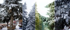 not green spruces (Insher) Tags: winter romania spruce sinaia