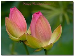 Pink Lotus Flower (Betty Vlasiu) Tags: park pink flowers flower dc washington lotus wildlife national kenilworth nelumbo nucifera