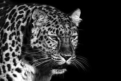 Amur Leopard B&W2 (tiger3663) Tags: uk cat wildlife leopard trust survival amur the