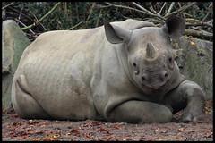 Black rhinoceros (Diceros bicornis) (Xavi BF) Tags: black african negro leipzig east rhino eastern rhinoceros negre rinoceronte blackrhinoceros nashorn spitzmaulnashorn schwarze rhinocerotidae zooleipzig perissodactyla dicerosbicornis diceros bicornis michaeli hooklippedrhinoceros rinoceront rinocerontenegro easternblackrhinoceros dicerosbicornismichaeli orrszarvú nosorožec canoneos60d eastafricanblackrhinoceros hooklipped schwarzenashorn tamron70300vcusd rinocerontnegre ostronosý nosorožecostronosý keskenyszájú keskenyszájúorrszarvú