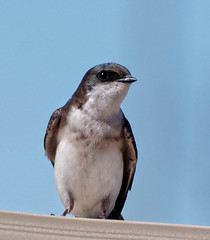 Swallow (Peter_Cameron) Tags: olympusem5 mzuikoed75300mmf4867ii