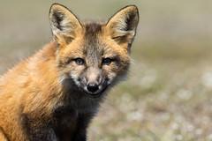 Red Fox Kit (Vulpes vulpes) - Washington State (bcbirdergirl) Tags: usa baby bunny amazing magic surreal fox kits wa kit rabbits washingtonstate foxes redfox toocute vulpesvulpes babyfox
