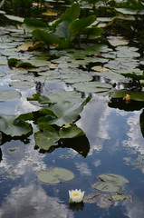 DSC_3206 (Archangel Azrael) Tags: flowers water pond lily buddhism lilies lilypond