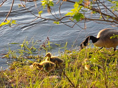 mother goose and goslings (angelinas) Tags: trees sunlight cute green nature water leaves birds jaune geese babies riverside wildlife adorable goslings rivers waterbirds yelllow waterscapes naturelovers lanature mothergoose wildbirds riverscapes cmwdgreen
