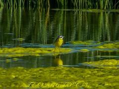 EN EL RASO DE PORTILLO (teo teo tedios) Tags: agua amarillo reflejo juncos legamo pajaritoamarillo