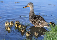 Mother Duck (marylee.agnew) Tags: bird nature water duck spring babies outdoor wildlife ducklings mallard