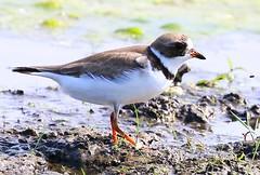semipalmated plover at Cardinal Marsh IA 854A7646 (lreis_naturalist) Tags: county cardinal reis iowa larry marsh plover semipalmated winneshiek