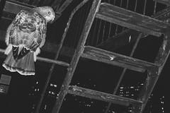Sit N Prey (lozadae12) Tags: blackandwhite monochromatic fireescape birdofprey redtailedhawk vsco