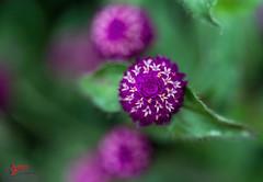 Globe Amaranth (SPP- Photography) Tags: morning flowers como flower nature canon morninglight petals purple blossom blossoms 100mm blooms heliotrope blooming 6d flowersplants globeamaranth macro100mm marjoriemcneelyconservatory canon6d