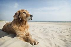 22/52 baltic boy (Jutta Bauer) Tags: 52weeksfordogs 52weeksforalbert 2252 dog goldenretriever albert almightyalbert wideangle beach