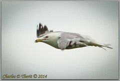Ring-billed Gull (ctofcsco) Tags: 1500 350mm 56 7d 7dclassic 7dmark1 7dmarki bif bird birdinflight black canon cloudy ef353503556lusm ef35350mm ef35350mmf3556lusm eos7d explore f56 gray gull nature red ringbilledgull sky superzoom telephoto unitedstates usa white wildlife yellow can canada fallsview geo:lat=4308015797 geo:lon=7907374414 geotagged niagarafallssoutheast ontario iso1250