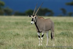 Beisa Oryx, Buffalo Springs (markus lilje) Tags: markuslilje kenya mammal animal saugertiere tiere oryx antelope oryxbeisa grassland