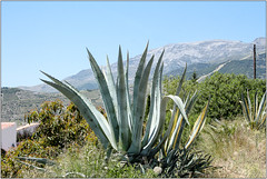 Aloe (Mabacam) Tags: plant walking landscape outdoors countryside succulent aloe spain village hiking country andalucia trail moorish 2016 competa canillasdealbaida