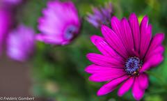 I like the Sun... (frederic.gombert) Tags: pink flowers light summer sun flower color macro green colors spring nikon purple bokeh greatphotographers d810