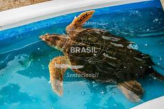 SE_Ubatuba0314 (Visit Brasil) Tags: horizontal brasil fauna ubatuba sopaulo natureza cultura detalhe externa sudeste semgente projetotamar diurna brasil|sudeste brasil|sudeste|sopaulo brasil|sudeste|sopaulo|ubatuba brasil|sudeste|sopaulo|ubatuba|projetotamar