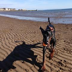 Gunner (Dls Bute) Tags: dog sun beach water ball fun play doberman gunner dobie baywatch dobermann
