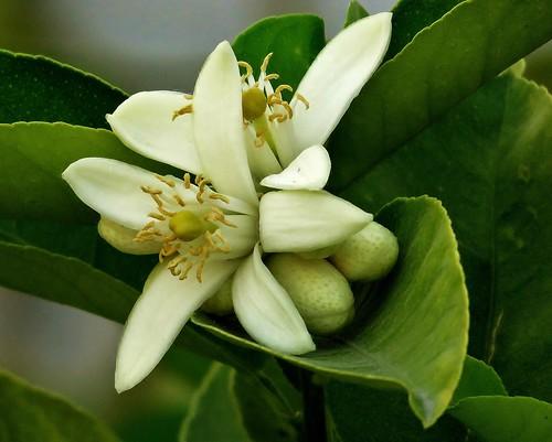 flor de limonero (versión 2015)