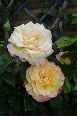 St John's Pillar. (aitch tee) Tags: flowers plants nature gardens climbingrose walesuk rhoose stjohnspillar