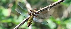 Broad-bodied chaser (Klaus  infrequently online ) Tags: dragonfly libelle broadbodiedchaser libelluladepressa platbuik libelluledprime plattbauch littehukankorento segellibelle libluladevientreplano bredtrollslnda   bredbllibelle broadbodieddarter breibllibelle