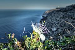 Kappar over the cliffs (Maximus DiFermo) Tags: sea flower malta cliffs maximus caper siggiewi difermo